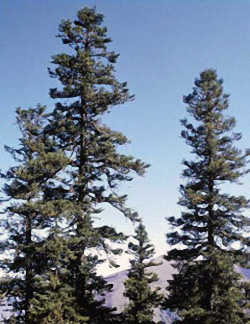 Abies squamata - Altbestand China
